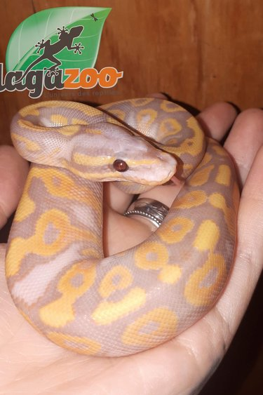 Magazoo Python Royal Banana Yellow Belly Mâle