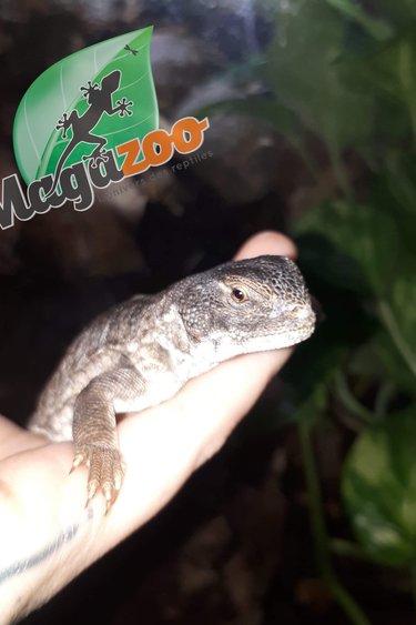 Magazoo Uromastyx marocain (Bébé CB)