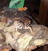 Magazoo Uromastyx du Niger orange (Bébé CB)