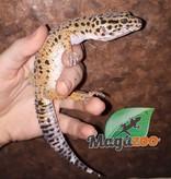 Magazoo Gecko léopard carott  tail femelle