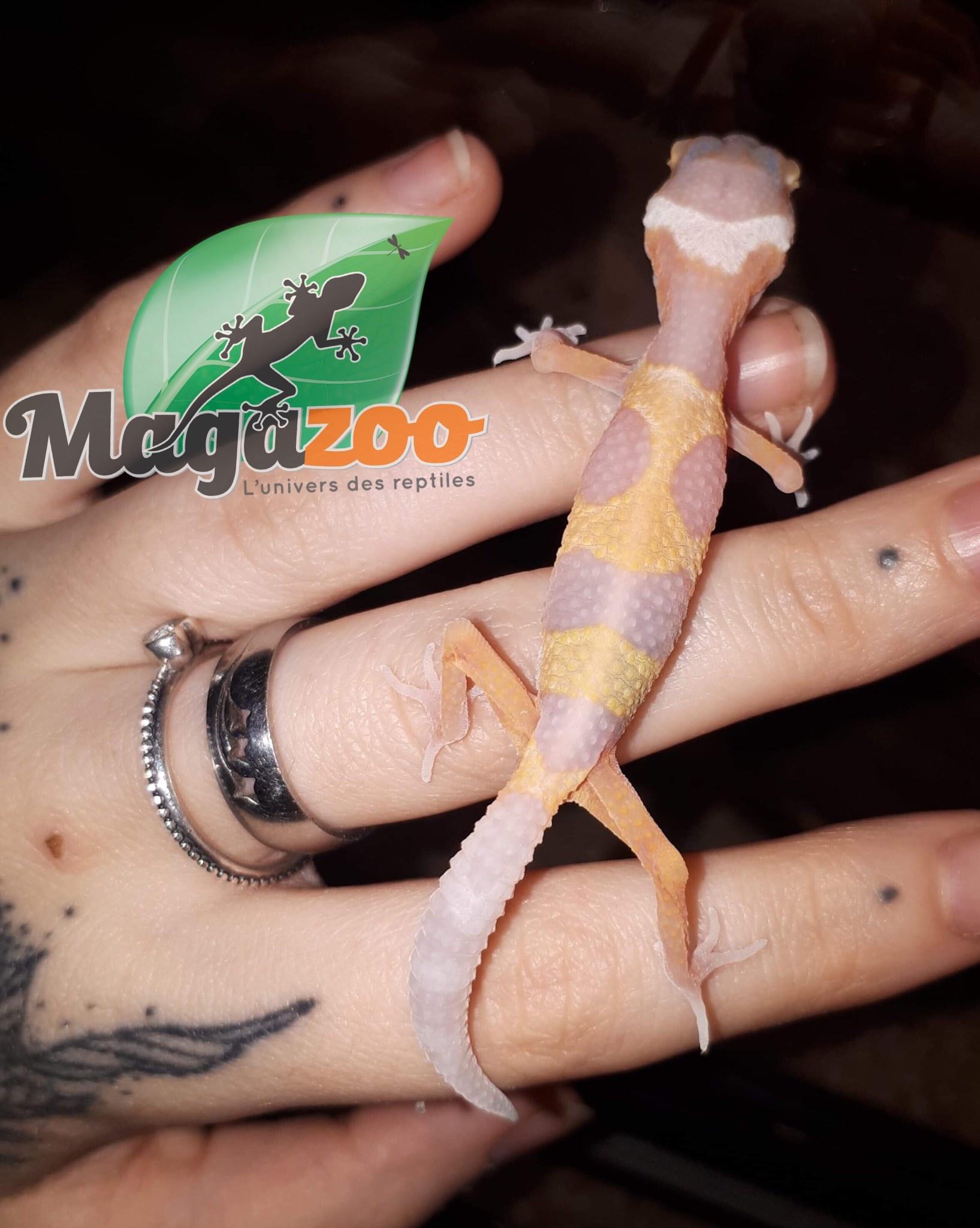gecko leopard Bubble gum Bébé