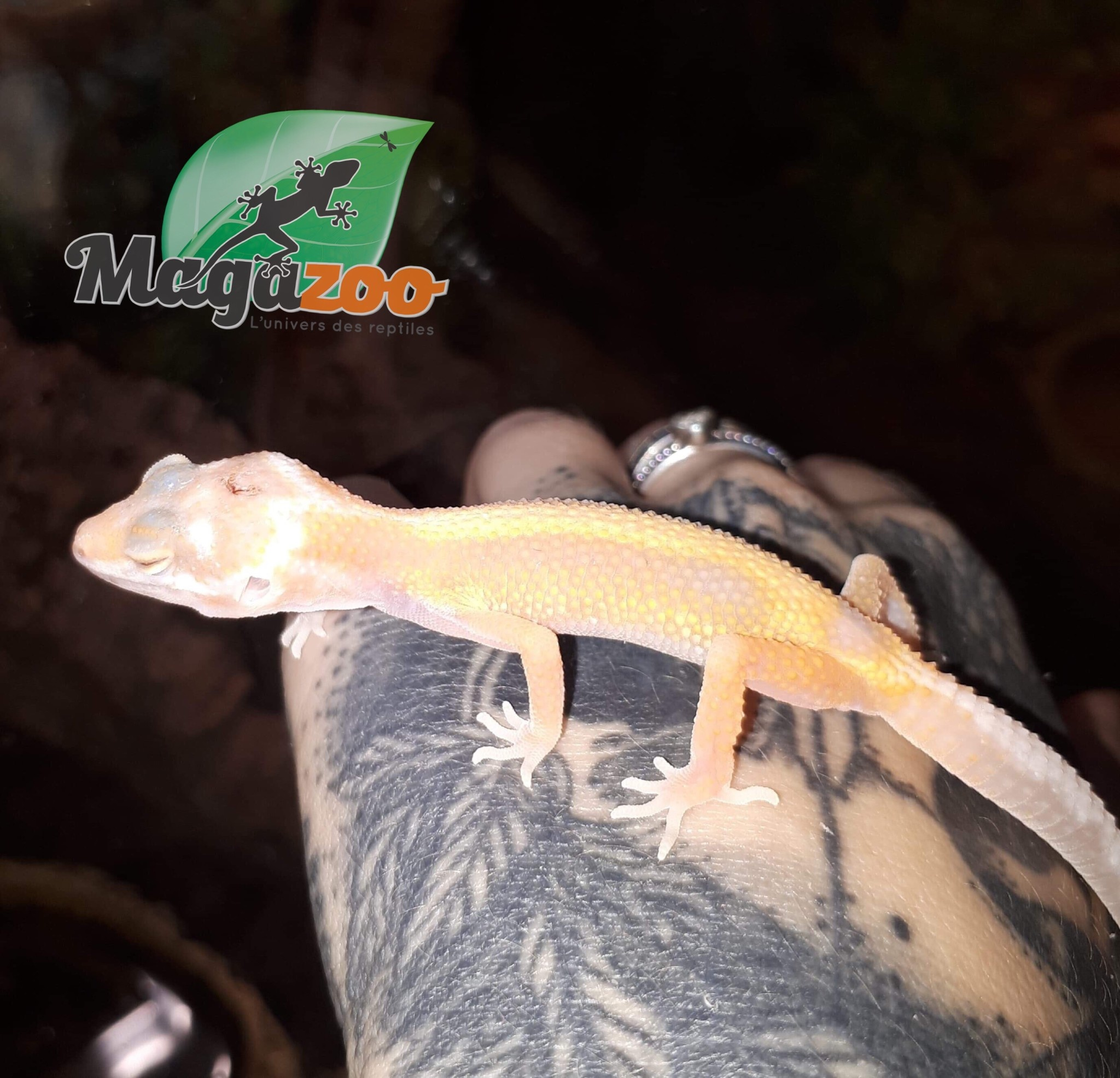 Gecko leopard Albino Jungle Stripe Bébé