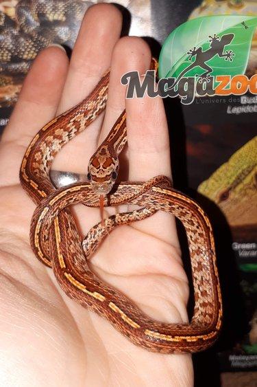 Magazoo Serpent des blés Tessera classique (Bébé mâle)