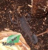Magazoo Scorpion Bark /Centruroides gracilis