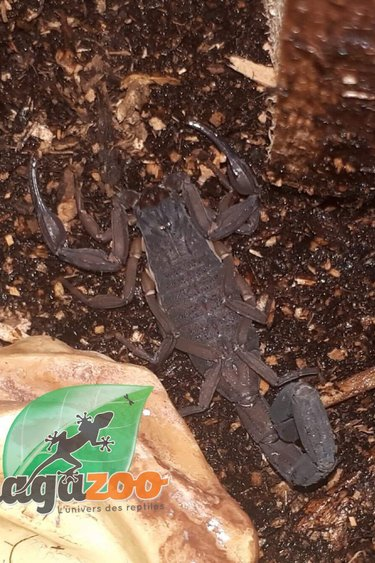 Magazoo Scorpion Bark /Centruroides gracilis