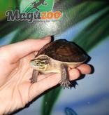 Magazoo Tortue boîte de Malaisie