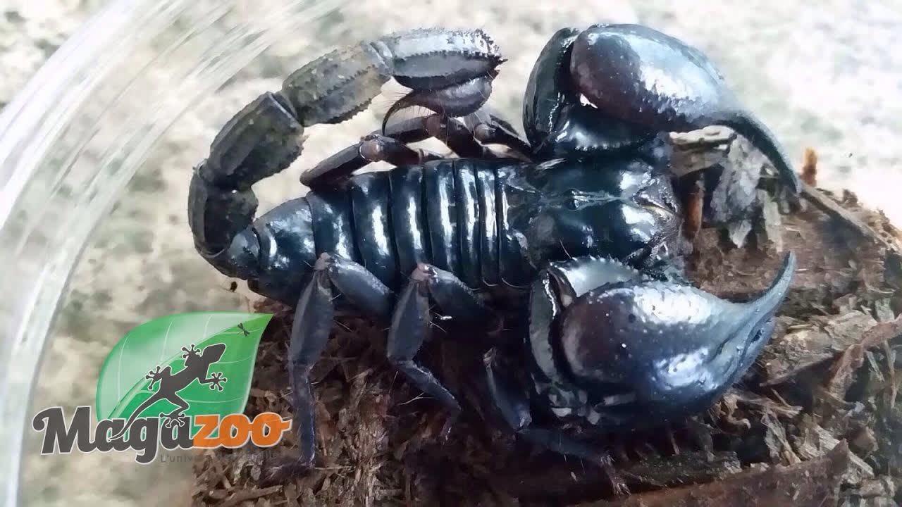 Magazoo Scorpion noir d Asie Femelle