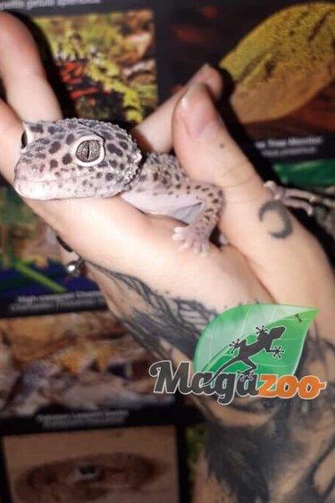 Gecko léopard Mâle 2e Chance