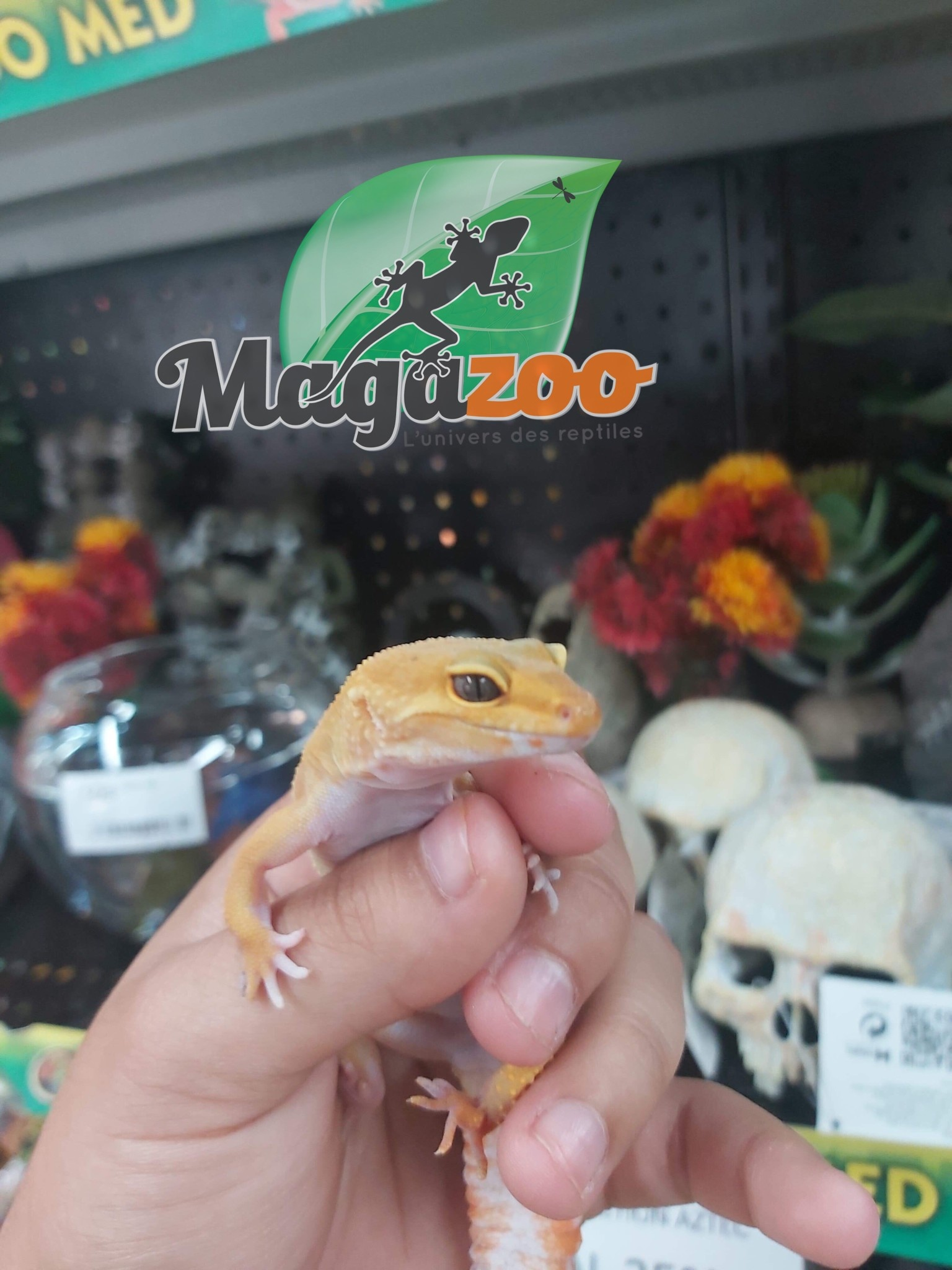 Magazoo Gecko léopard super hypo tangerine carrot-tail Mâle