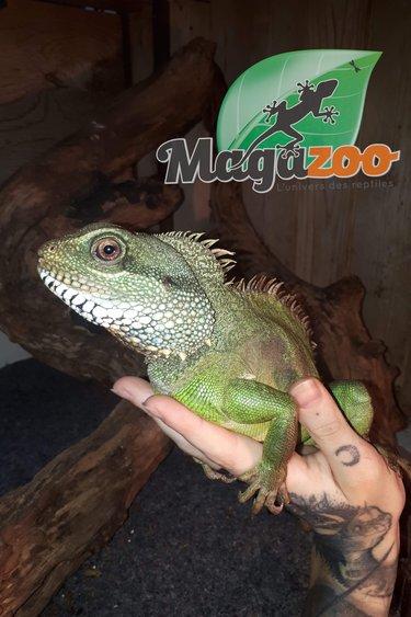 Magazoo Dragon d'eau chinois adulte Mâle