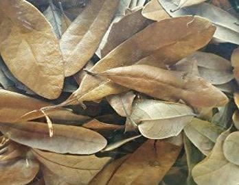 All things reptile Feuilles de chêne vivante (litière) .5 oz - Live Oak Leaves (Leaf Litter)