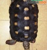 Magazoo Tortue charbonnière Femelle 15 ans