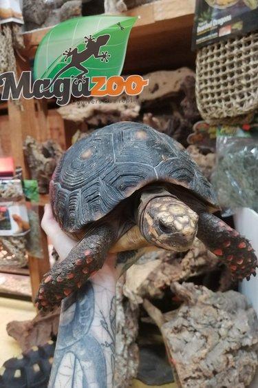 Magazoo Tortue charbonnière Femelle 5 ans