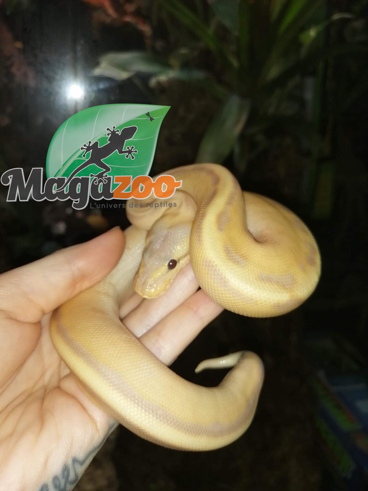 Magazoo Python royal Banana Genetic Stripe Het Enhancer Mâle