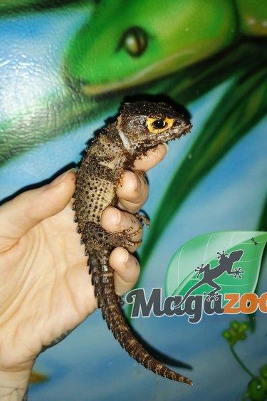 Magazoo Scinque crocodile aux yeux rouges Femelle