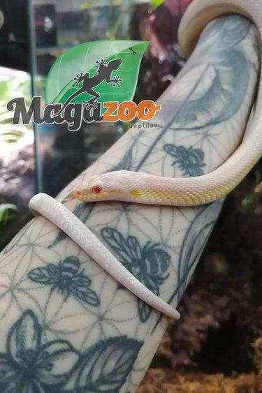 Magazoo Serpent des Blés Snow Juvénile