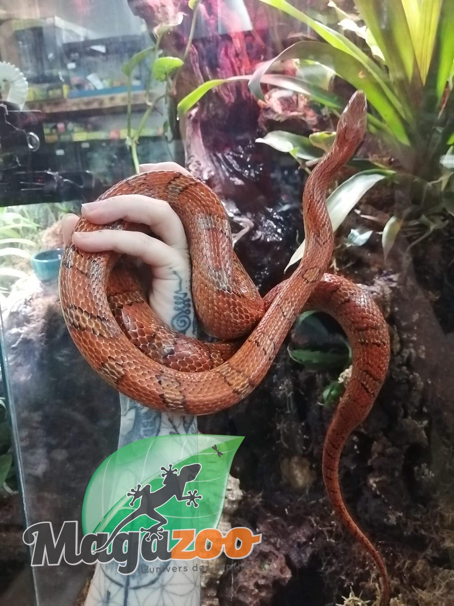 Magazoo Serpent des Blés Régulier Sub-Adulte