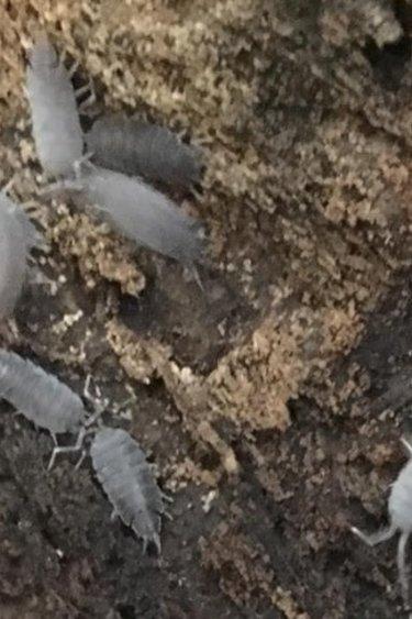 Big Bites Culture de Cloporte Isopod Pruinosus 12 pack