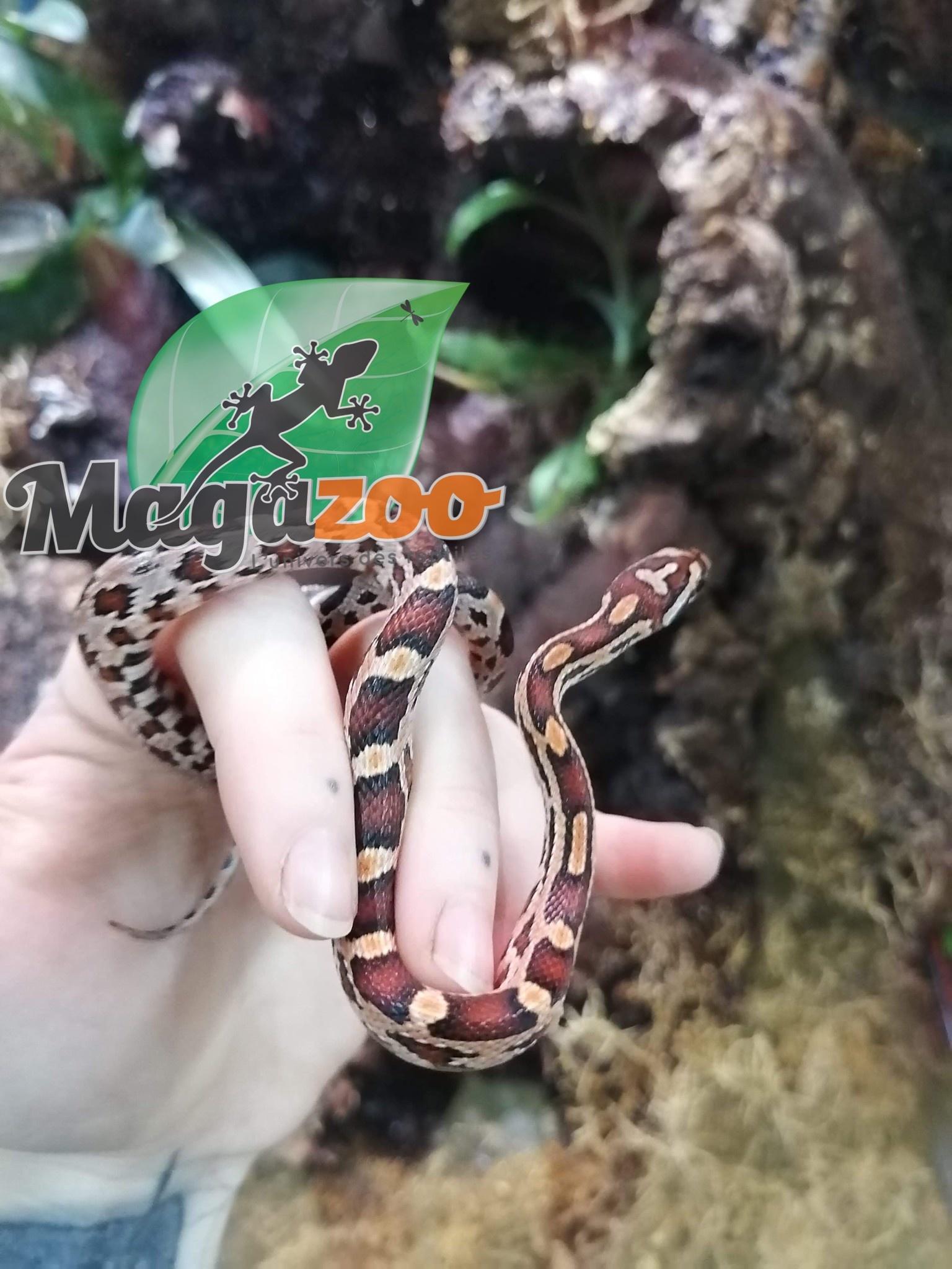Magazoo Serpent des Blés Okeetee Mâle