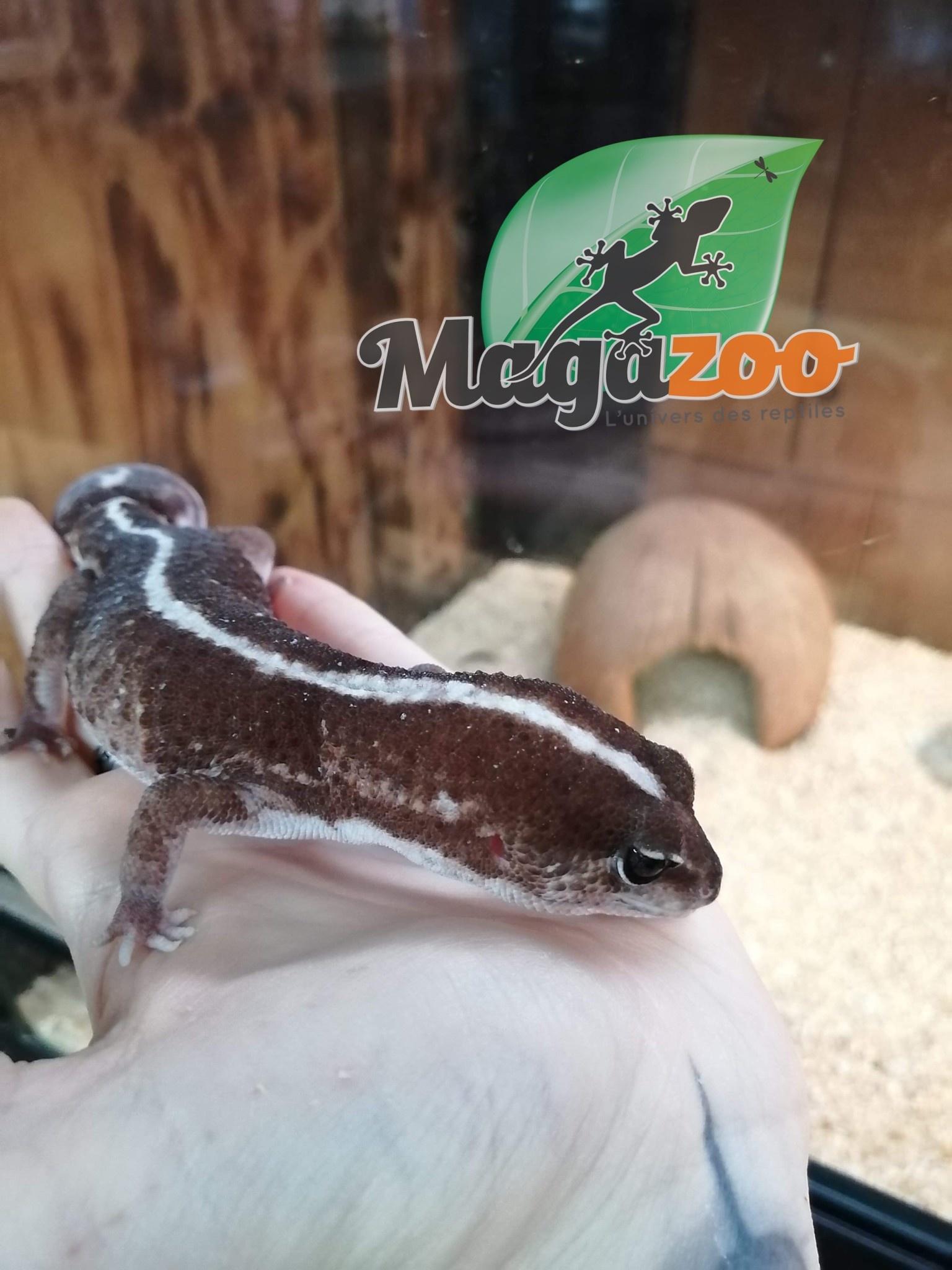 Magazoo Gecko à Queue Grasse Mâle Adulte 'Queue repoussée'