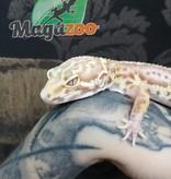 Magazoo Gecko léopard Mack Snow Bell Albino Stripe Lavender Femelle Adulte