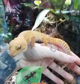 Magazoo Gecko léopard Sunglow Femelle