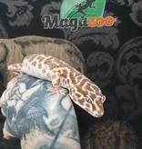 Magazoo Gecko léopard Mack Snow Albino Femelle Adulte