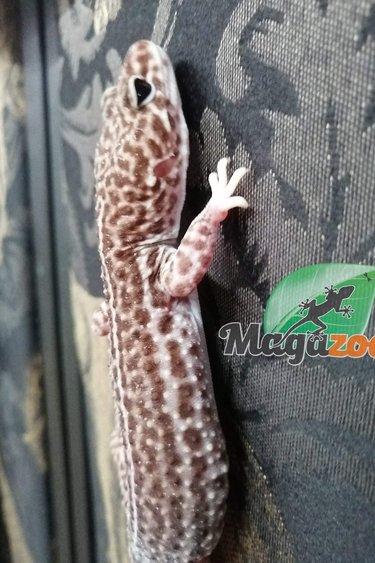 Magazoo Gecko léopard super Snow Albino femelle