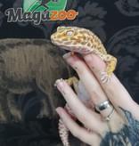 Magazoo Gecko Léopard Bell Albino Femelle Adulte