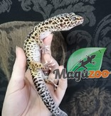 Magazoo Gecko léopard régulier Femelle Adulte