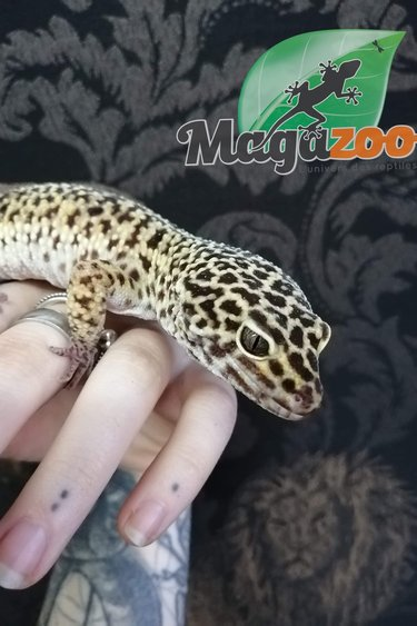 Magazoo Gecko Léopard Géant Hight Yellow Adulte Mâle
