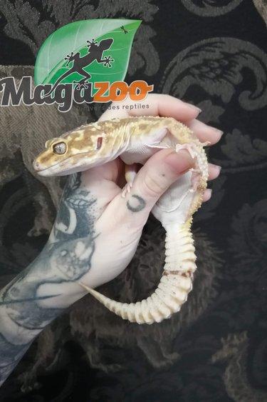 Magazoo Gecko Léopard Tremper Albino Femelle