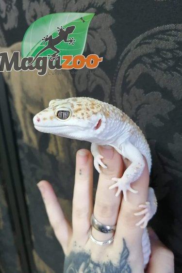 Magazoo Gecko Léopard Tangerine W&Y Paradoxe Mâle