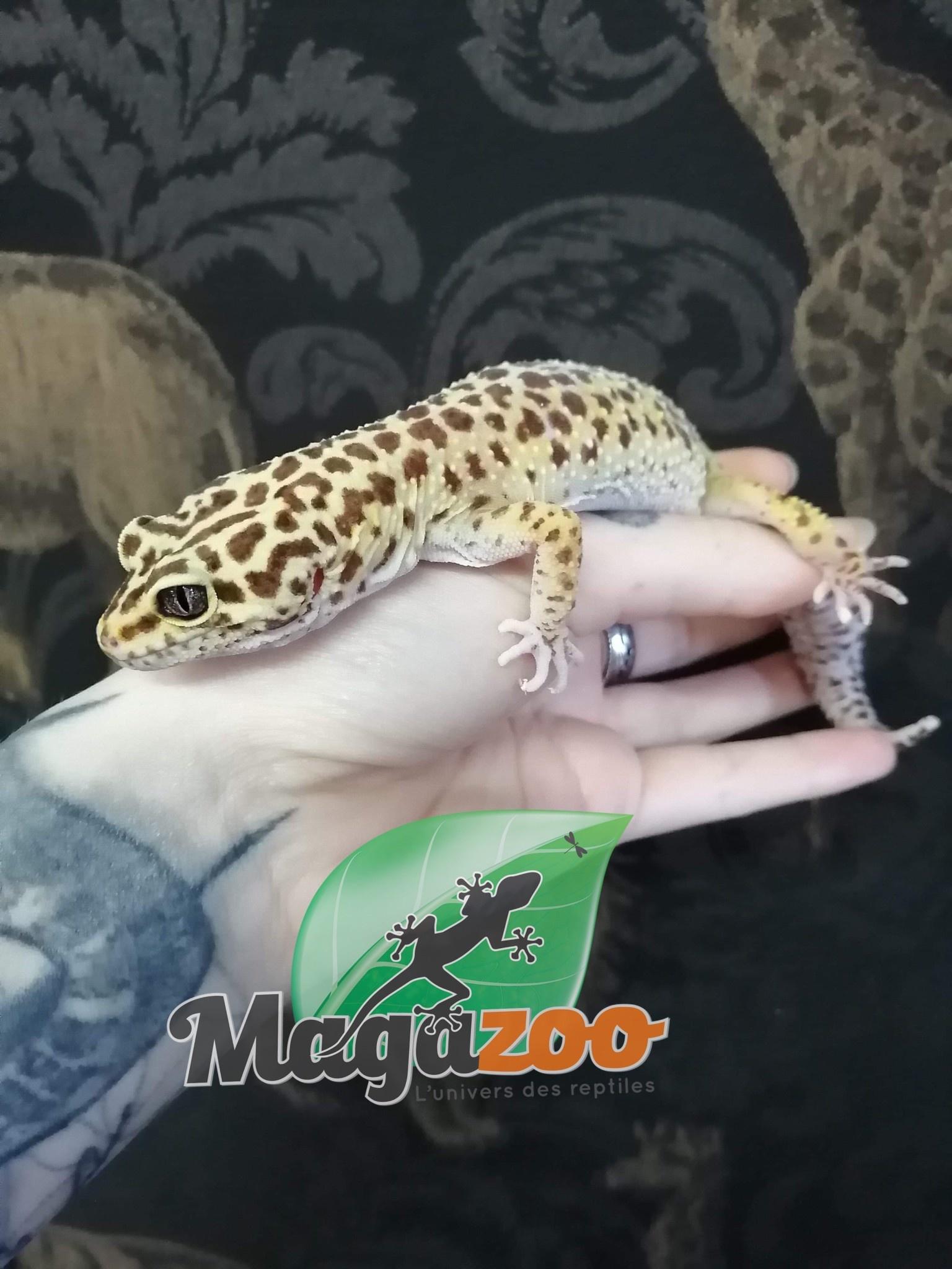 Magazoo Gecko Léopard Hight Yellow  Femelle Adulte