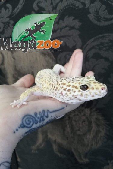 Magazoo Gecko Léopard Mack Snow Éclipse Enigma Mâle