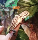 Magazoo Dragon barbu de Lawson Bébé Mâle