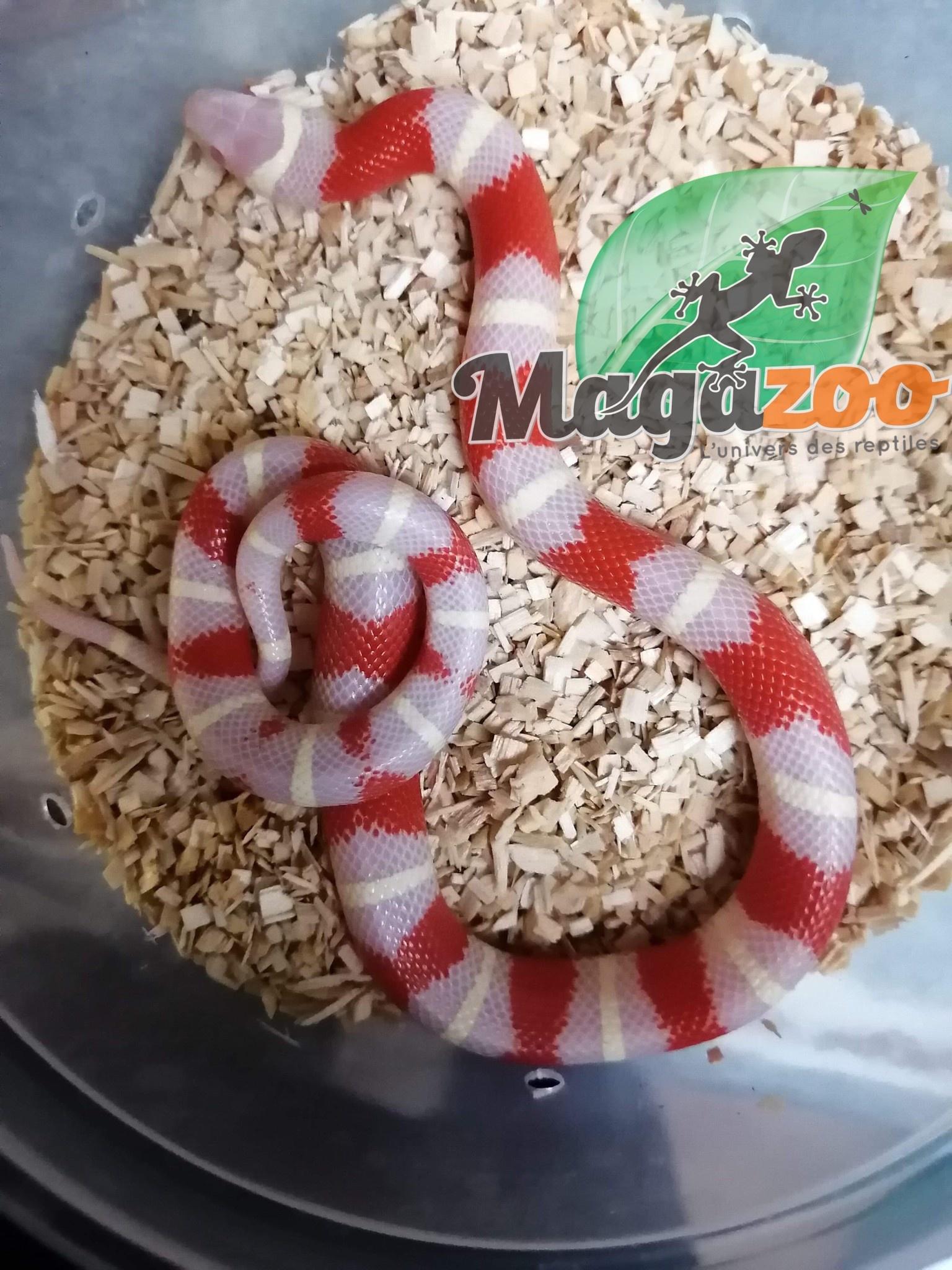 Magazoo Serpent Laitier Nelson Albino Bébé femelle