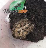 Magazoo Grenouille cornue d'argentine Tan (pac man)