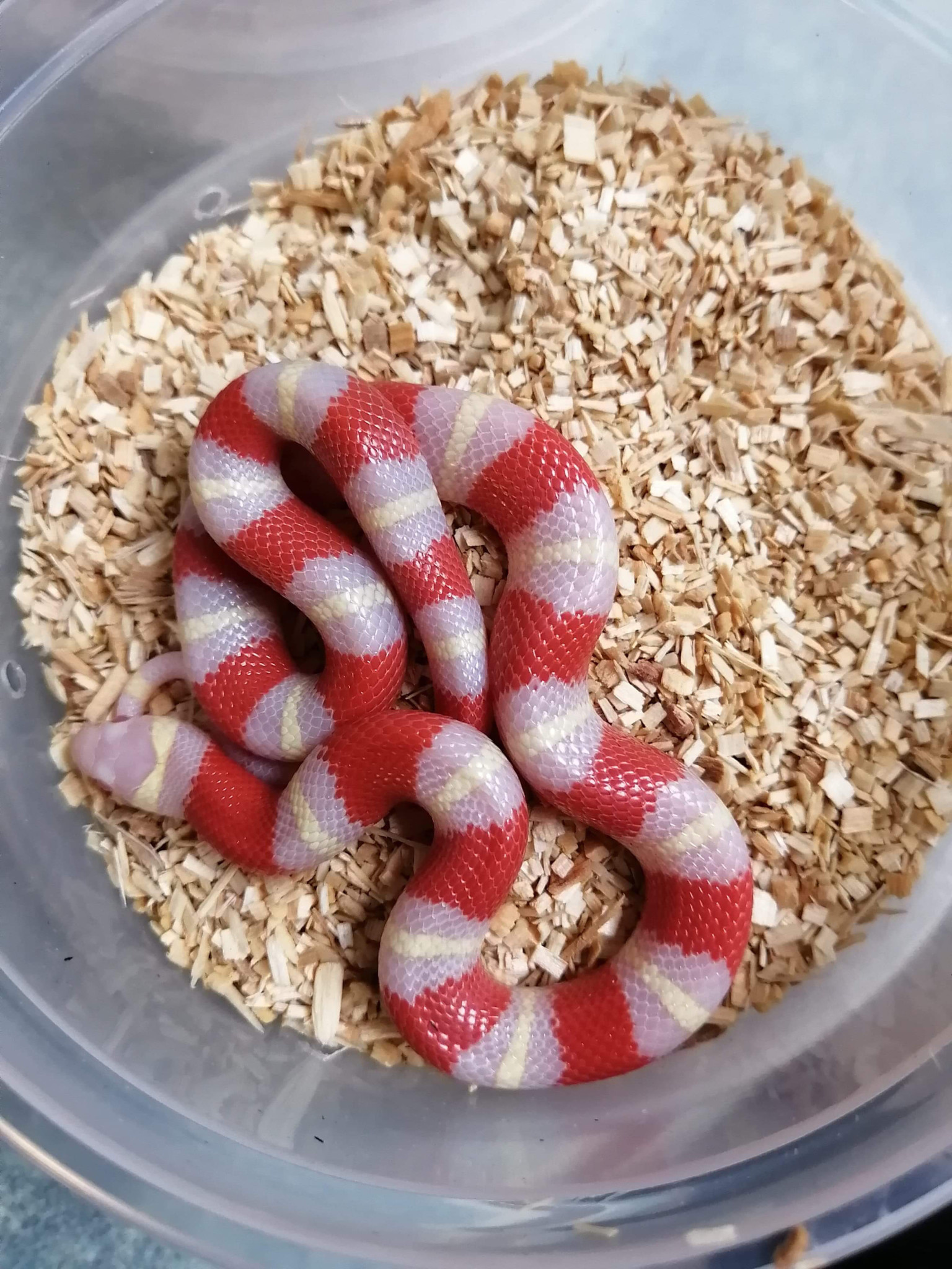 Magazoo Serpent Laitier Nelson Albino Bébé Mâle