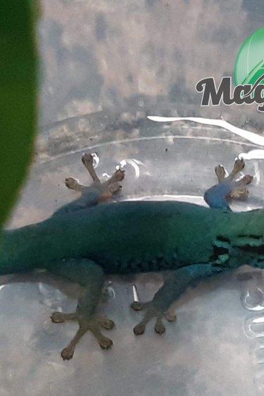 Magazoo Gecko diurne  bleu électrique Mâle (williamsi) né en captivité