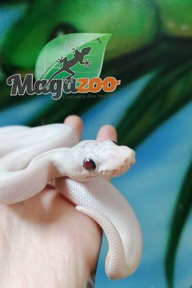 Magazoo Python Royal Leucistique Bébé femelle
