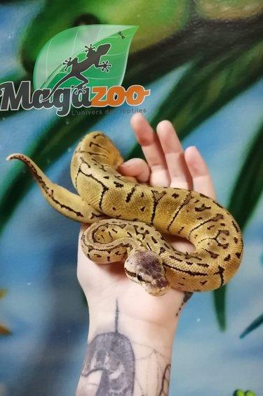 Magazoo Python Royal Lemon Blast Het Pied Juvénile femelle