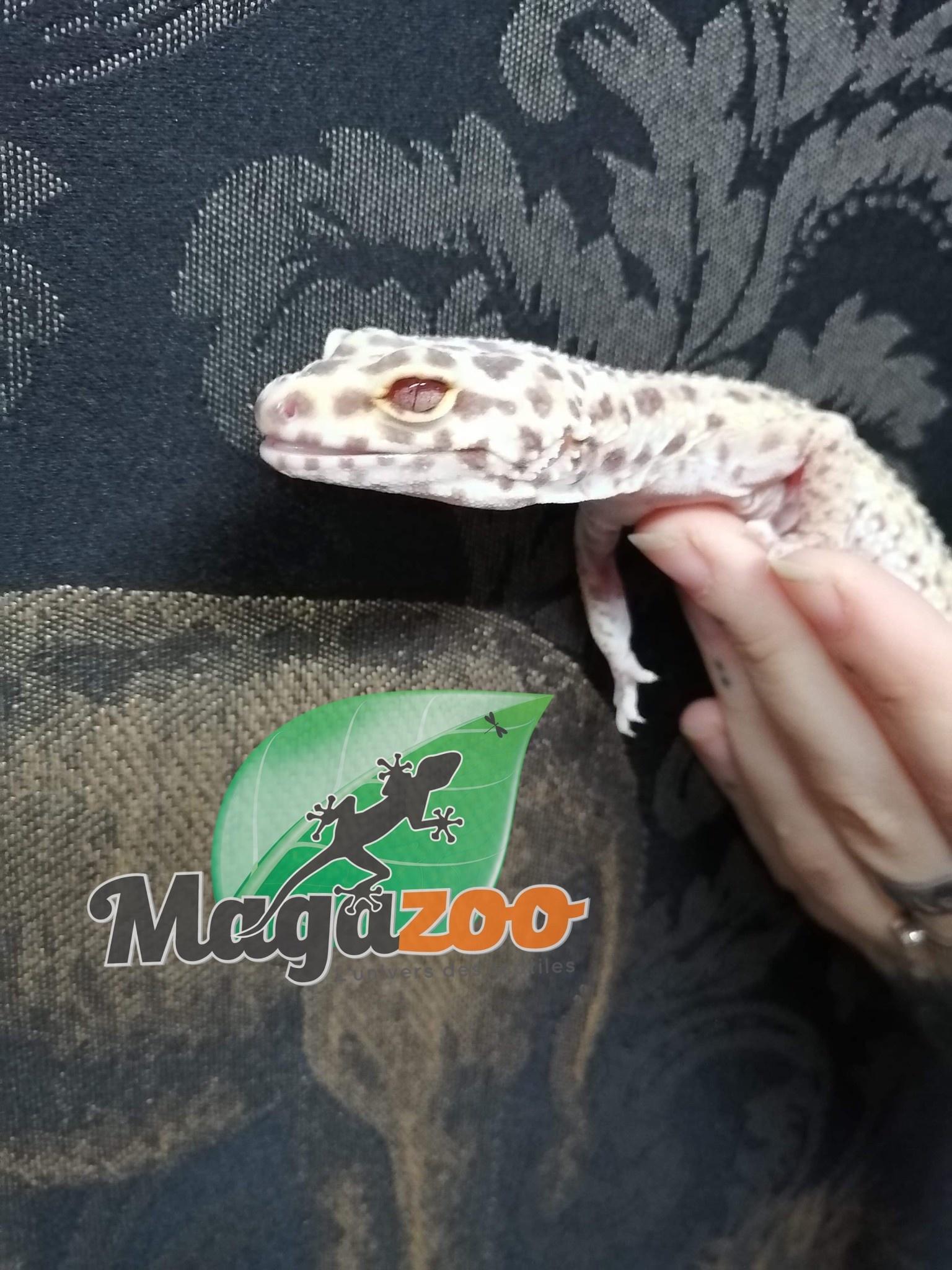 Magazoo Gecko léopard Mack Snow Bell Albino Femelle