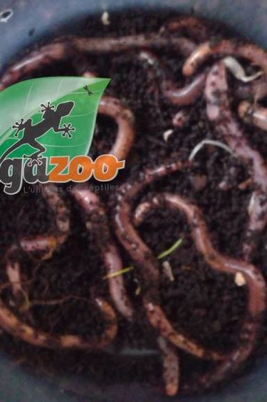 Magazoo Vers de terre européens / European Nightcrawlers  Eisenia hortensis
