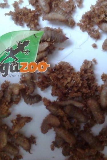 Magazoo Vers phoenix Larves de mouches soldat noir