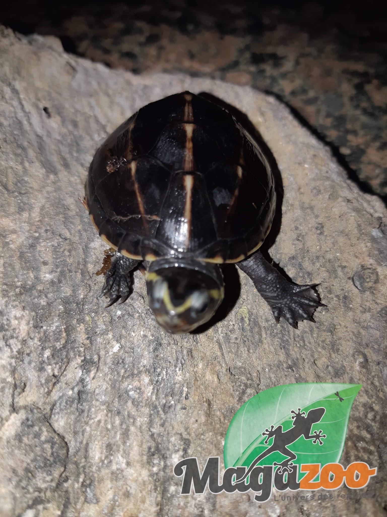 Magazoo Tortue de boue rayée (tortue mud à trois lignes)