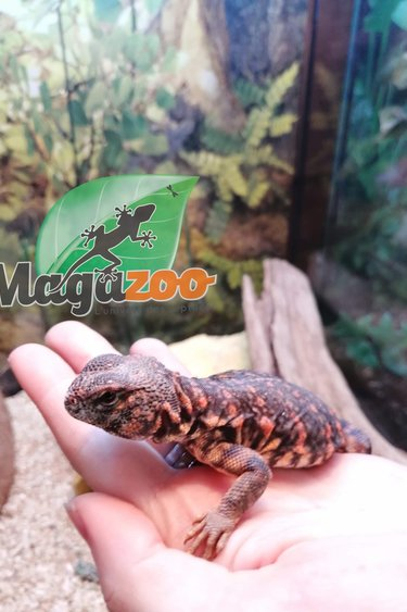 Magazoo Uromastyx niger orange né en captivité