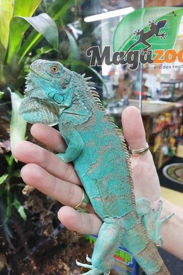 Magazoo Iguane Bleu Bébé