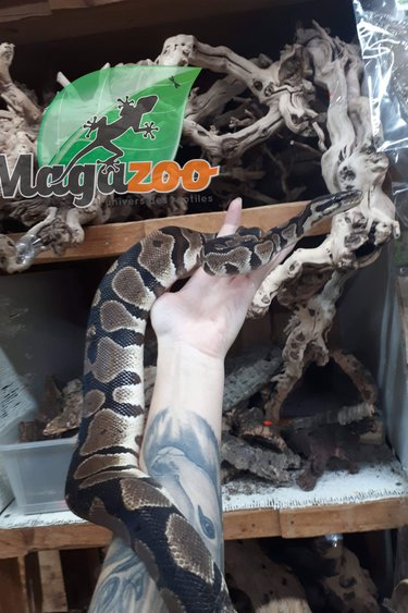 Magazoo Python Royal Régulier