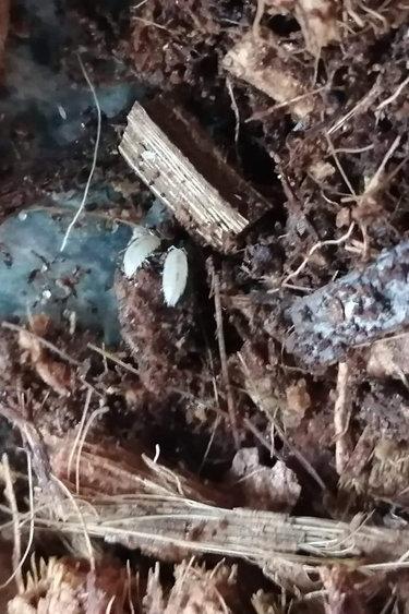 Magazoo Culture Cloporte Isopod Trichorhina tomentosa (Dwarf Tropical White Woodlice) 30+